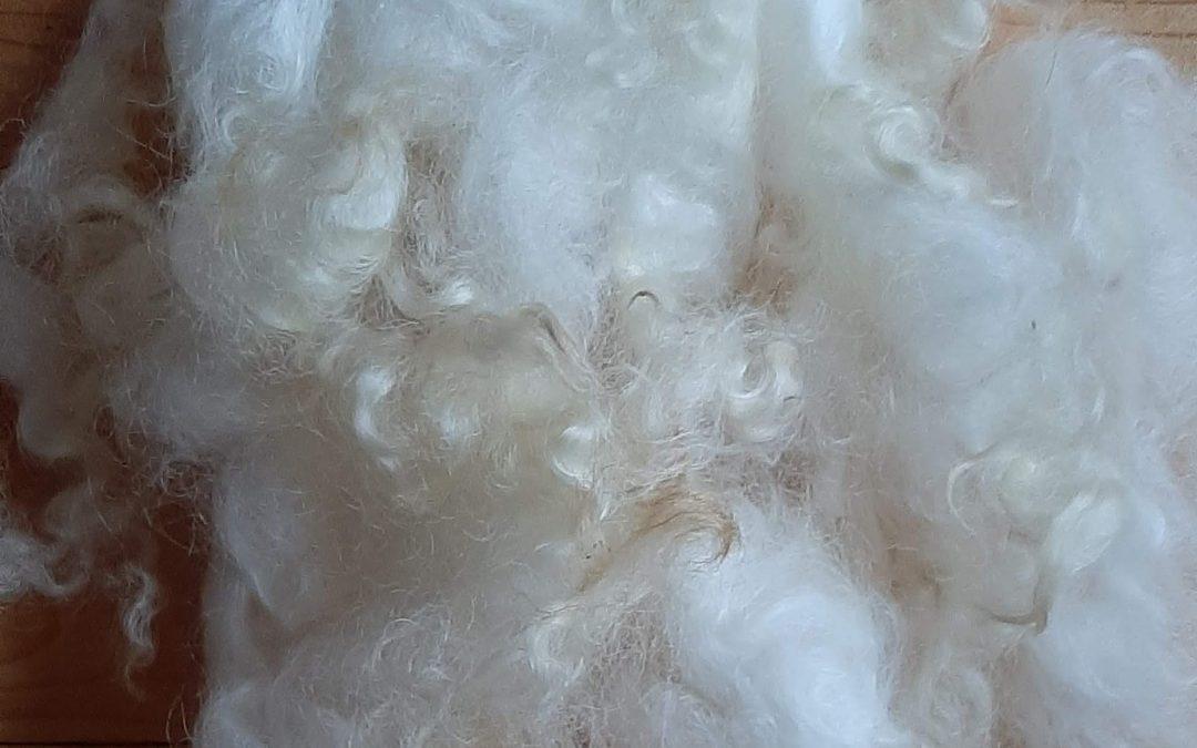 Lincoln Long Wool – Sam